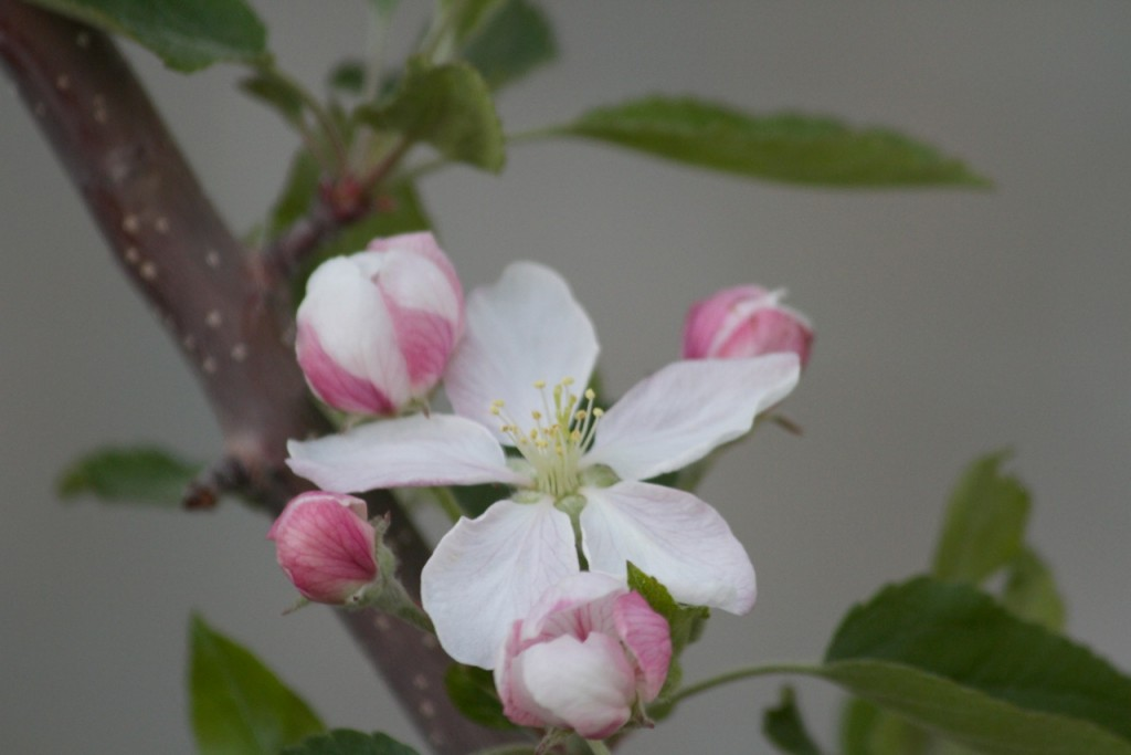 Apple blossom photo by Nate