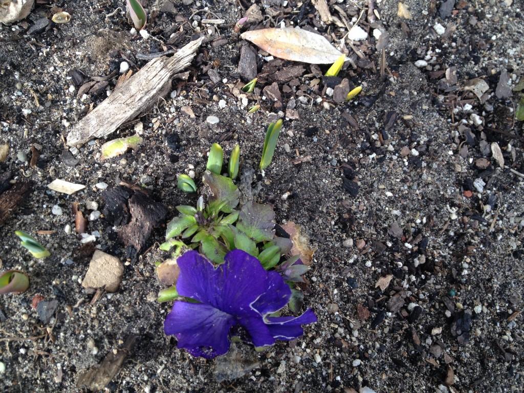 tulips poking through